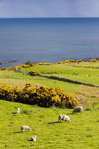 Landscape with sheep near Crackaig, Highlands, Scotland — Stock Photo