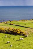 Landscape with sheep near Crackaig, Highlands, Scotland — Stock Photo