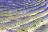 Lavender field near Tavard, Rhone-Alpes, France — Stock Photo