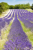 Lavender field near Salles-sous-Bois, Rhone-Alpes, France — Stock Photo