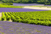 Lavender fields with vineyards, Rhone-Alpes, France — Stock Photo