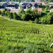 Grand cru vineyard, Thann, Alsace, France — Stock Photo #27363129