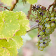 Grapes — Stock Photo #31085245