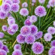 Chive flowers — Stock Photo #31085447