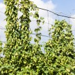 Stock Photo: Hops in hops garden, Czech Republic