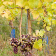 Grapes, Hochheim, Germany — Stock Photo #31085979