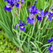 Irises — Stock Photo #31086131