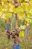 Grapes, Hochheim, Germany — Stock Photo