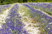 Lavender field with daisies near Tavard, Rhone-Alpes, France — Stock Photo
