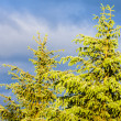 Stock Photo: Detail of spruce
