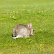 Rabbit on lawn — Stock Photo