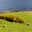 Stock Photo: Landscape with sheep near Crackaig, Highlands, Scotland