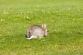 Rabbit on lawn — Stock Photo