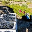 Foto de Stock  : Wine harvest, Douro Valley, Portugal