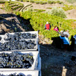 Stock Photo: Wine harvest, Douro Valley, Portugal