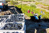 Wine harvest, Douro Valley, Portugal — Stock Photo