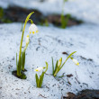 Spring snowflakes in snow — Stock Photo