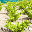 Vineyard on Cap de Peyrefite near Cerbere, Languedoc-Roussillon, — Stock Photo #37372921