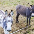 Stock Photo: Donkeys, Switzerland