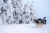 Sledge dogging, Sedivacek''s long, Czech Republic — Stock Photo