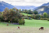 Alps landscape with alpacas near Filisur, canton Graubunden, Swi — Stock Photo