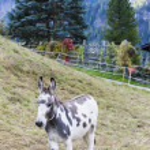 Donkey on meadow, Switzerland — Stock Photo #39301345