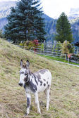 Donkey on meadow, Switzerland — Stock Photo