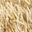 Grain field — Stock Photo #39819745