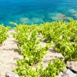 Vineyard on Cap de Peyrefite — Stock Photo #41203347