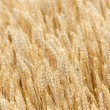 Grain field — Stock Photo #41203817