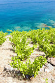 Vineyard on Cap de Peyrefite — Stock Photo