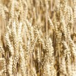 Grain field — Stock Photo #41496863