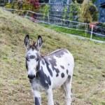 Donkey on meadow — Stock Photo #42181285
