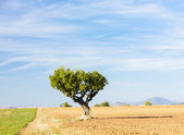 Field with a tree, Plateau de Valensole, Provence, France — Stock Photo