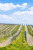 Spring vineyards, Southern Moravia — Stock Photo