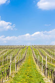 Vineyard called Sonberk — Stock Photo