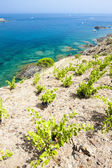 Vineyard on Cap de Peyrefite near Cerbere — Stock Photo