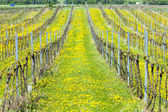 Vignoble de printemps — Photo