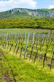 Spring vineyard — Stock Photo
