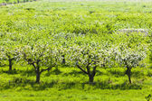 Blooming orchard in spring — Stock Photo