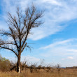 Old tree on meadow — Stockfoto