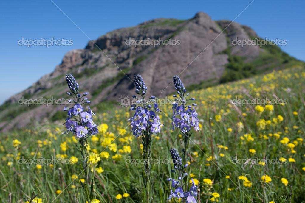 belles fleurs bleues dans les montagnes photographie pklimenko 12623572. Black Bedroom Furniture Sets. Home Design Ideas