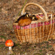 Basket of mushrooms in forest — Stock Photo