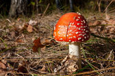 Mooi fly agaric — Stockfoto