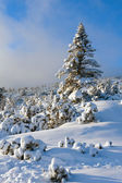 Pine tree in winter mountains — Stock Photo