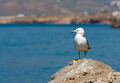 Seagull on sea — Stock Photo