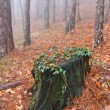 Old stump in misty forest — Stock Photo