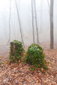 Old stumps in misty forest — Stock Photo