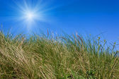Wield grass on blue sky background — Stock Photo