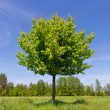 Green tree on meadow — Stock Photo #25403529